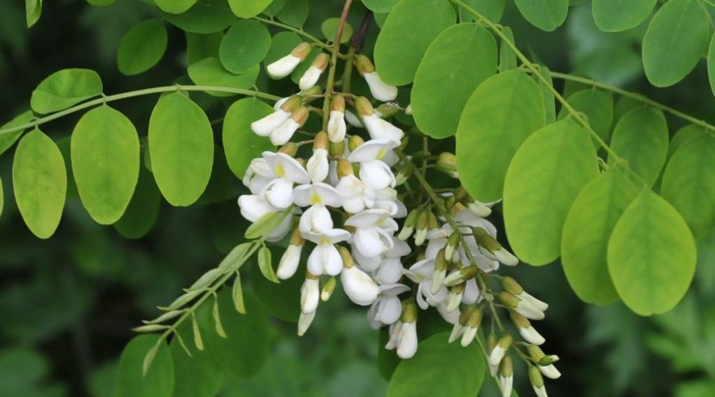 Flor blanca acacia