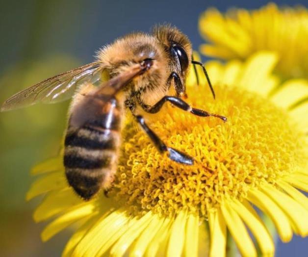 Abeja recolectando néctar de la flor