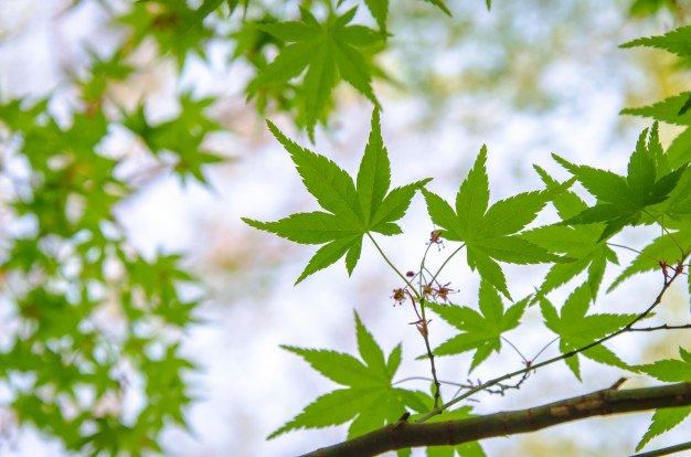 hojas arbol de arce